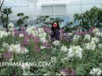 wisatawan-menikmati-hamparan-bunga-di-batu-love-garden-yang-sudah-dibuka-untuk-umum.jpg