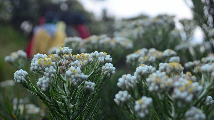 Bunga Edelweis Di Gunung Tak Boleh Di Petik Ada Denda dan Sanksi Hukum