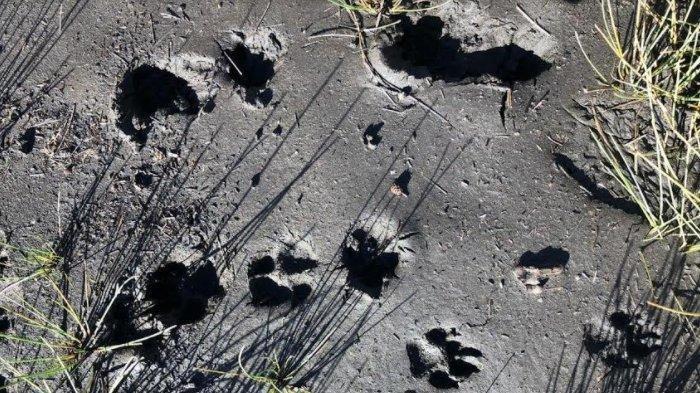 Pembersihan Jalur Pendakian Gunung Semeru Ada Jejak Kaki Diduga Macan Tutul Dan Bangka Kepala Rusa