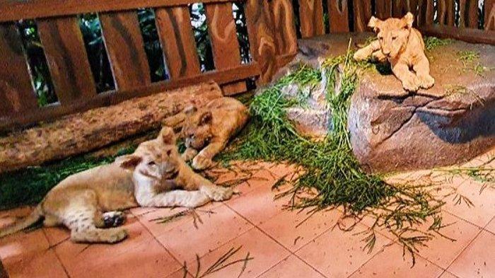 Tiga Bayi Singa Baru Dilahirkan di Taman Safari Prigen, Diberi Nama Alfa, Beta, dan Gamma