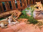 tiga-bayi-singa-baru-dilahirkan-di-taman-safari-prigen.jpg