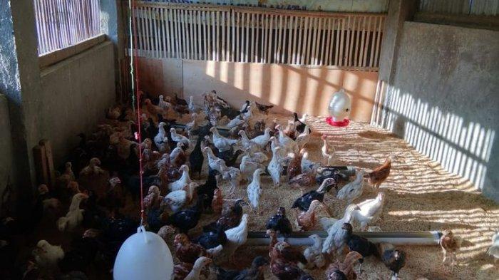 Peluang Bisnis yang Menjanjikan: Hanya Bermodal Kecil, Ternak Ayam Kampung Jadi Ladang Uang