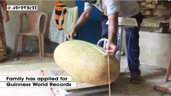 Inikah Nangka Terbesar di Dunia dengan Bobot 51 Kg?