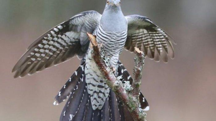 Terbang 12.000 Km dan Lintasi 16 Negara, Burung Cuckoo Ini Berhasil Pecahkan Rekor