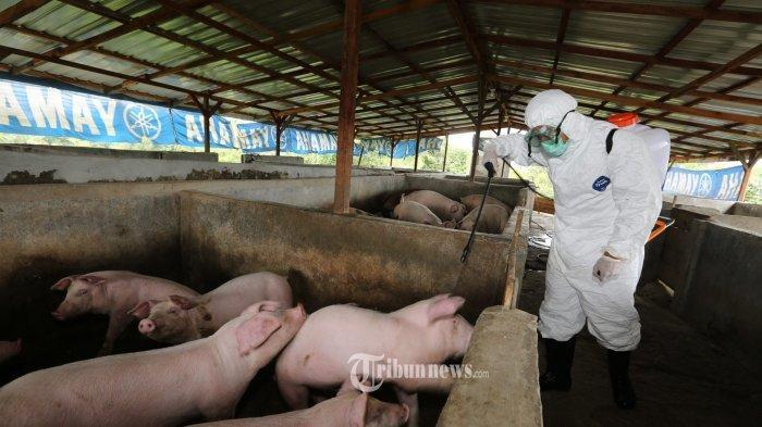 Diduga Terserang Demam Babi Afrika, 878 Babi di Peternakan Palembang Mati