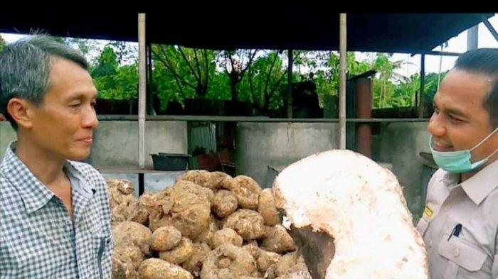 Mengenal Porang, Umbi yang Dulu Dianggap Makanan Ular Kini Jadi 'Emas' Petani, Segini Harganya