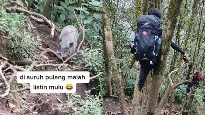 Bertemu Babi Hutan di Gunung Cikuray, Pendaki Langsung Kocar-kacir Panjat Pohon, Begini Kesaksiannya