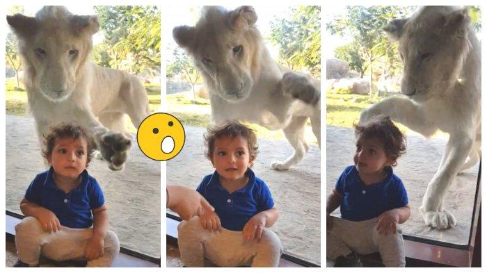 Di Belakangnya Ada Singa Akan Menerkam, Bocah Ini Santai Duduk di Jendela Kaca Dubai Safari Park