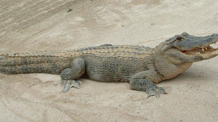 Kayak Lagi Tidur, Begini Cara Aligator Bertahan Hidup di Tengah Musim Dingin! Sst. . Jangan Diganggu