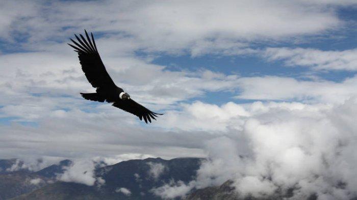Fakta Unik Andean Condor, Burung Terbesar di Dunia yang Bisa Terbang Tanpa Mengepakkan Sayap