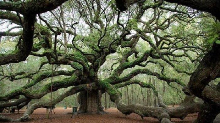 6 Lokasi yang Tidak Boleh Dilewatkan Saat Berlibur ke Amerika, Wajib Kunjungi Angel Oak Tree