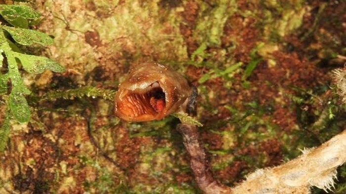 Peneliti Temukan Anggrek Paling Jelek di Dunia Tumbuh di Hutan Madagaskar