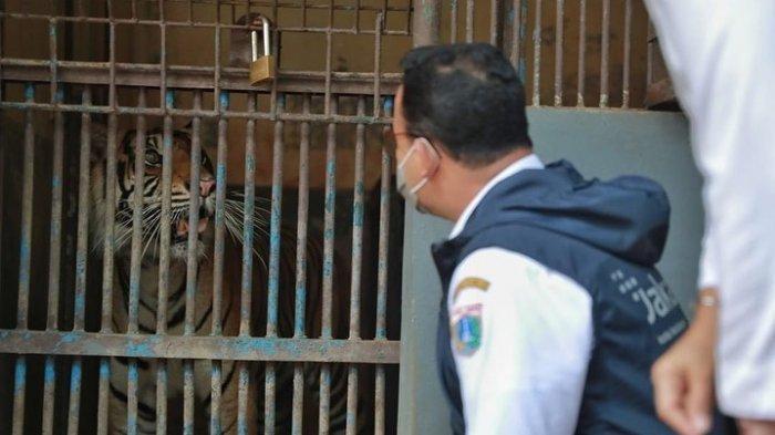 Dua Harimau Taman Margasatwa Ragunan Terpapar Covid-19, Begini Kondisinya Sekarang
