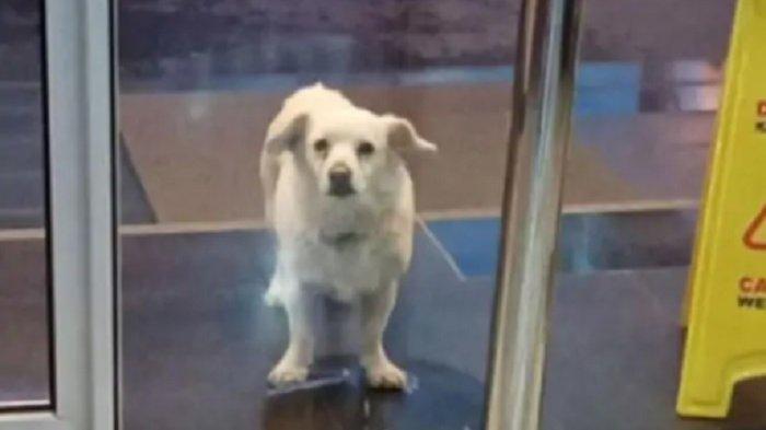Tunggu Pemiliknya yang Sakit, Anjing Ini Kunjungi Rumah Sakit Setiap Hari