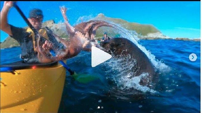 Mendayung Kayak di Laut Selandia Baru, Pria Ini Dilempar Gurita oleh Anjing Laut