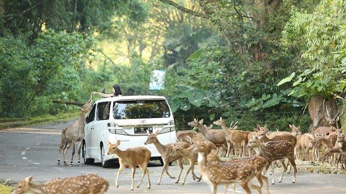 Serunya Menikmati Konservasi ala Taman Safari Bogor, Bisa Liat Satwa Bebas Berkeliaran
