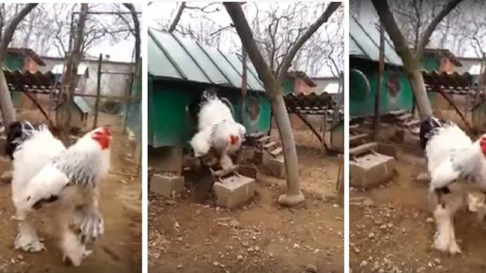 Mengerikan! Inikah Ayam Terbesar di Dunia? Ukurannya Hampir Kalahkan Manusia