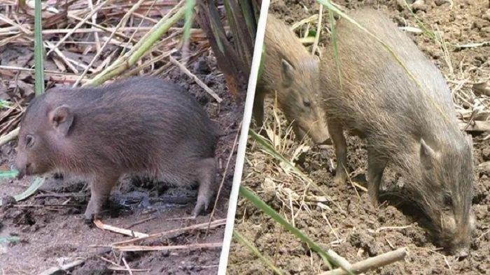 Babi Terkecil di Dunia yang Dinyatakan Punah Kembali Ditemukan, Tingginya Cuma 25 Centimeter