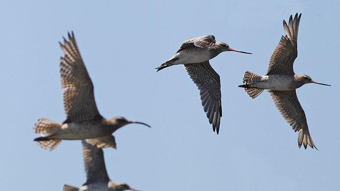 11 Hari Terbang Tanpa Henti Sejauh 12.000 Km, Burung Ini Pecahkan Rekor Dunia