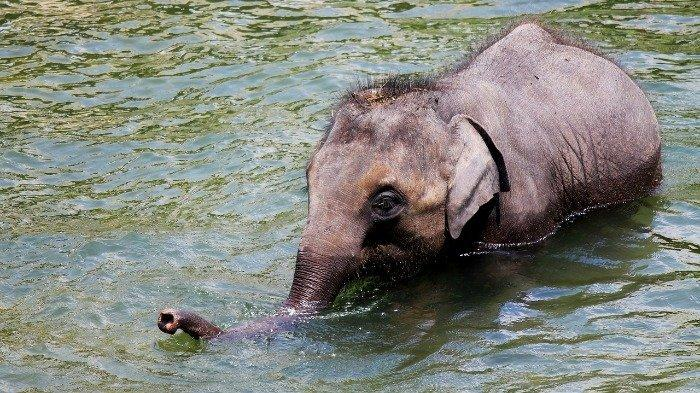 Viral Video Aksi Mengemaskan Bayi Gajah yang Meluncur Menuruni Lereng Berlumpur di Hutan Hujan China