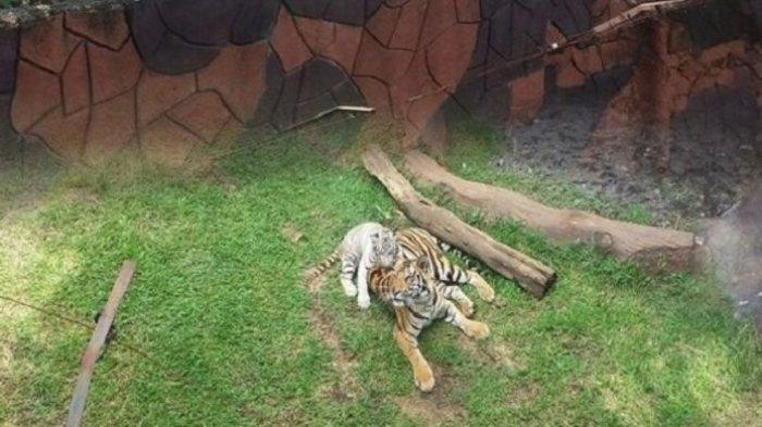 Bayi harimau putih dan induknya di Jatim Park 2