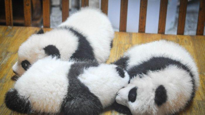 Ilustrasi tiga Bayi panda yang sedang tidur nyenyak di ranjang