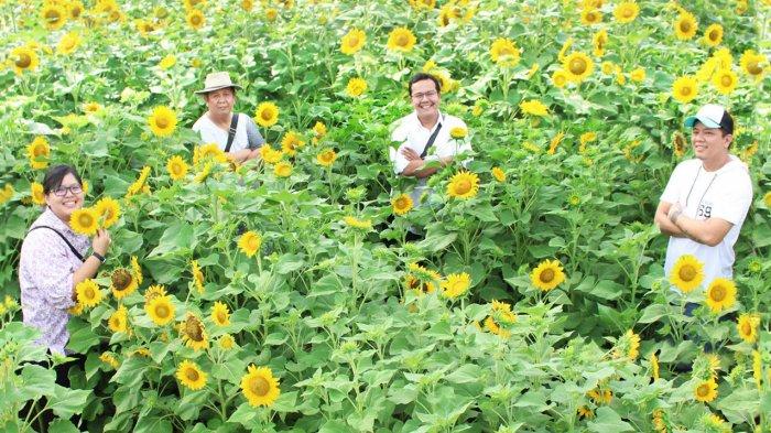Kuning Kuning Ceria 5 Lokasi Kebun Bunga Matahari Di Indonesia Bikin Feed Ig Mu Makin Semarak Tribun Travel
