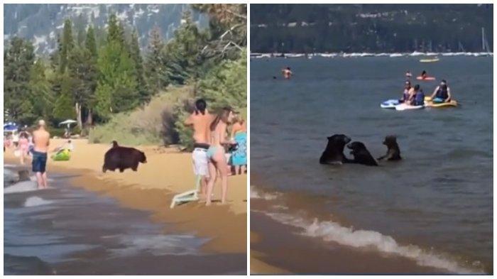 Viral Video Keluarga Beruang Hitam Asyik Main di Pantai, Tak Peduli Sekitarnya Ramai Wisatawan