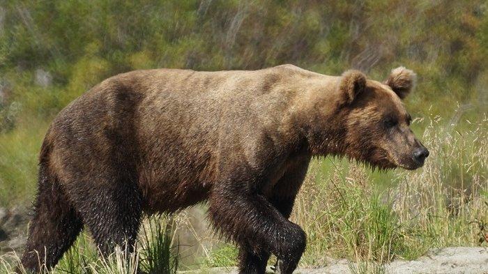 Pesawat Tabrak Seekor Beruang hingga Mati saat Mendarat di Bandara