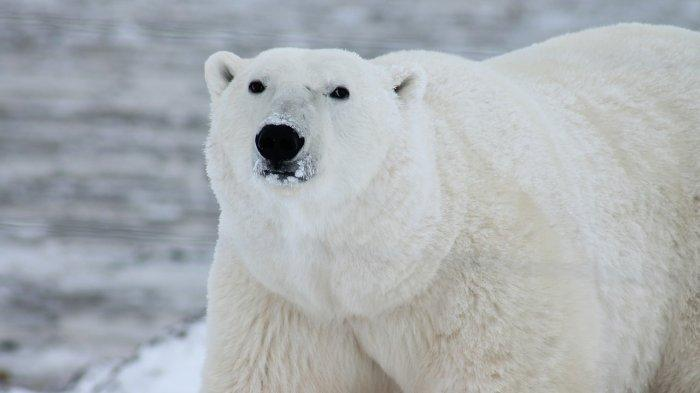 Kota di Kanada Ini Punya Penjara yang Kurung Beruang Kutub Selama 30 Hari