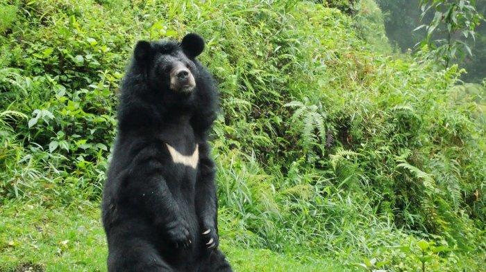 Patut Diacungi Jempol! Begini Aksi Beruang Ini Saat Bantu Polisi Tangkap Perampok