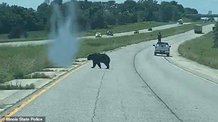 Fakta Unik Bruno, Beruang Hitam yang Lintasi 4 Negara Bagian AS Demi Mencari Jodoh