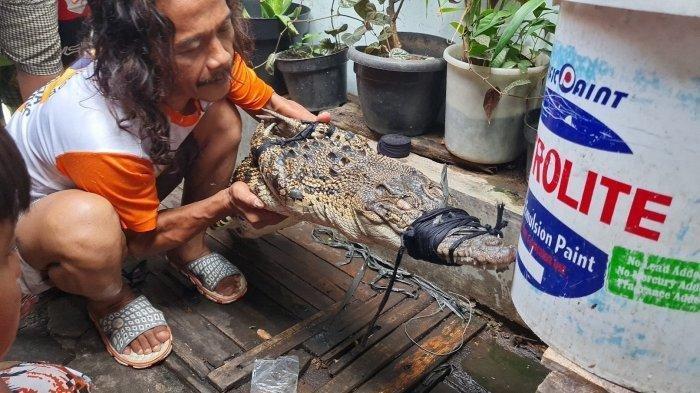 Buaya ditemukan di selokan RT 006 RW 006 Duri Selatan, Jakarta Barat pada Sabtu (24/7/2021).