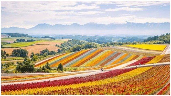 Traveling ke Jepang Wajib Kunjungi Bukit Biei Hokkaido, Hamparan Bunga Lavender jadi Daya Tarik