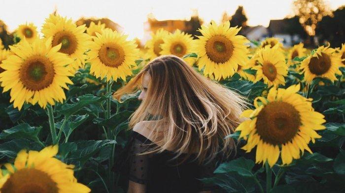 Ilustrasi kebun bunga matahari