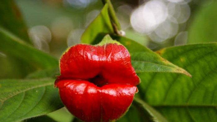 Mirip Bibir yang Dipulas Lipstik, Inikah Bunga Paling Seksi di Dunia?