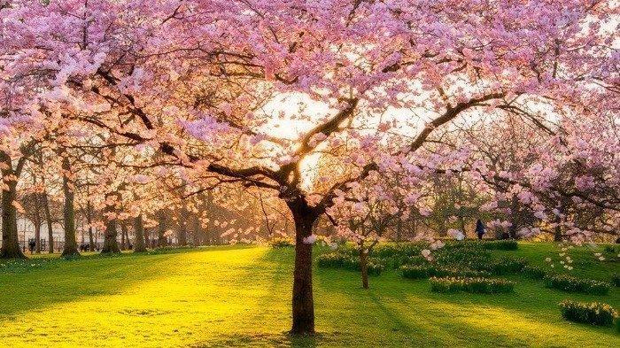 Bunga Sakura di St. James's Park, Inggris
