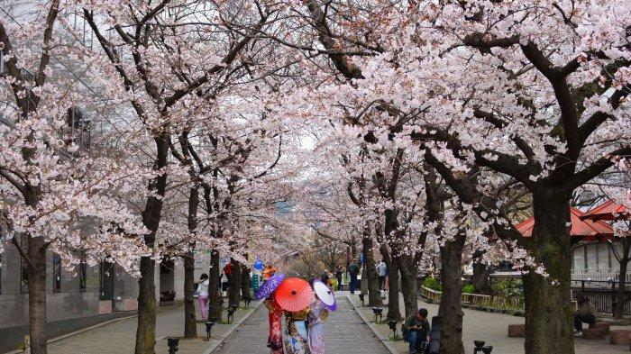 Bunga Sakura di Jepang Akan Mekar Lebih Awal Tahun ini, Berikut Prediksinya
