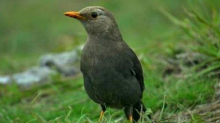 Nekat! Traveler Selundupkan Puluhan Burung Kutilang Dalam Rol Rambut, Diringkus di Bandara