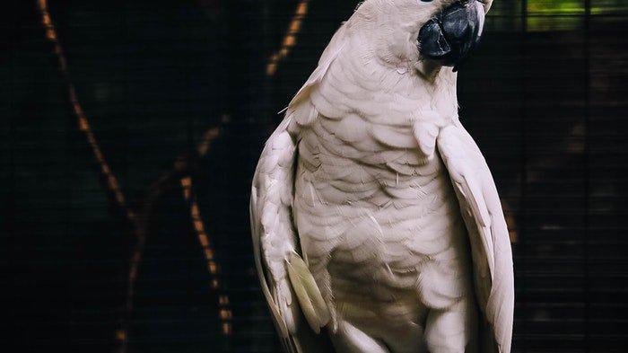 Kerap Memaki Pengunjung dan Petugas, 5 Burung Beo Ini Dipindahkan dari Kebun Binatang