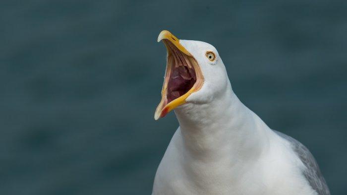 Viral, Video Kocak Burung Camar yang Masuk Toko dan Curi Sandwich Tuna