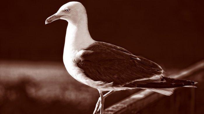 Momen Lucu Burung Camar Mengeluarkan Suara Gonggongan ke Arah Pria yang Merekamnya