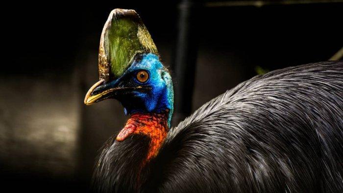 Kasuari Dijuluki Burung Paling Mematikan Di Dunia Cakarnya Sanggup Bunuh Manusia Tribun Travel