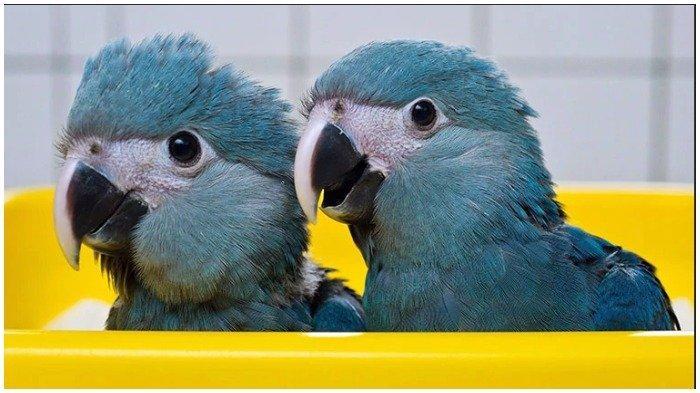 Burung Makaw Biru yang Populer di Film Rio Punah, Ini Upaya Konservasi dari Pemerintah Brasil