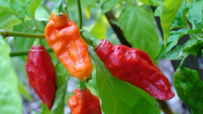 Bukan Red Savina Pepper Meksiko, Ini Cabai Terpedas Dunia Siap Bikin Dower Sampai Nangis-nangis