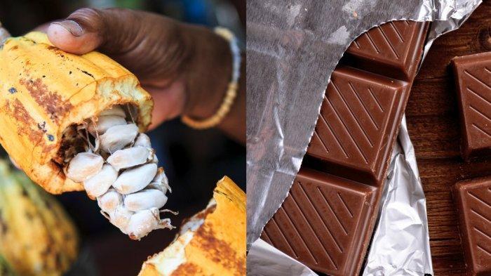 Proses Panjang Pembuatan Cokelat, dari Kebun hingga jadi Makanan Merk Ternama