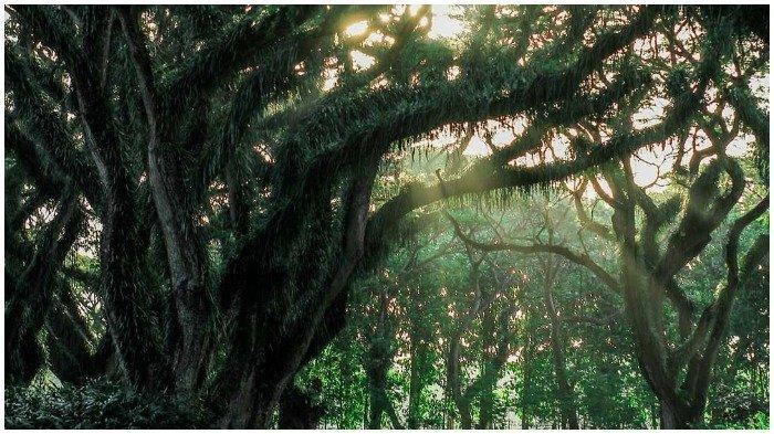 De Djawatan Benculuk, Hutan di Banyuwangi yang Bernuansa Magis