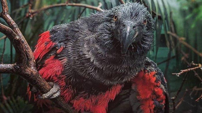 Fakta Unik Burung Nuri Drakula dari Papua yang Terancam Punah Akibat Perburuan Liar