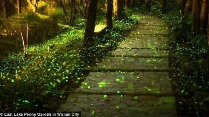 Dihuni Sekira 10.000 Kunang-Kunang, Taman di Wuhan Ini Menyala Terang di Malam Hari