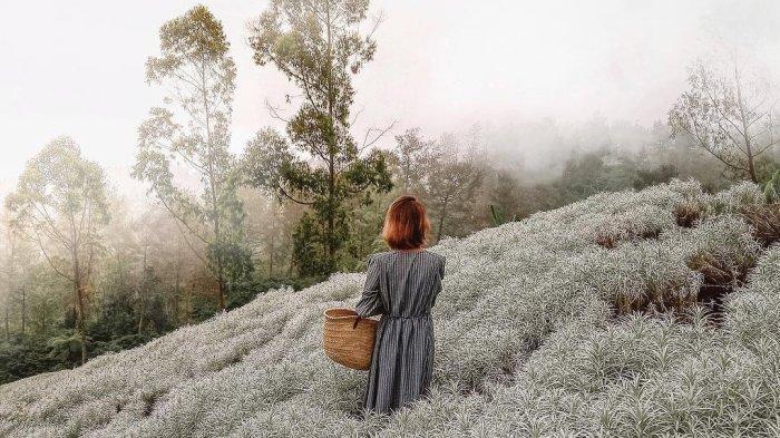 Ada Kebun Edelweis Di Dekat Pura Besakih Bali Kapan Waktu Terbaik